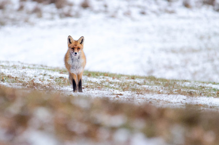 fox standing on a meadow where is a little bit of snow