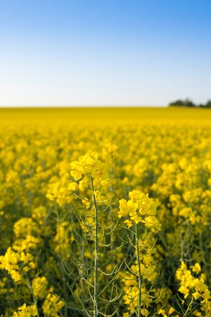Infinite field of rapeseed, Nezamyslice, Moravia, Czech Rebublic, Europe