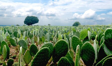 Mexican landscape nopales nopalera field beautiful blue skay horizons