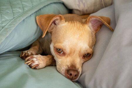 sweet cute beautiful chihuahua dog blur background Фото со стока