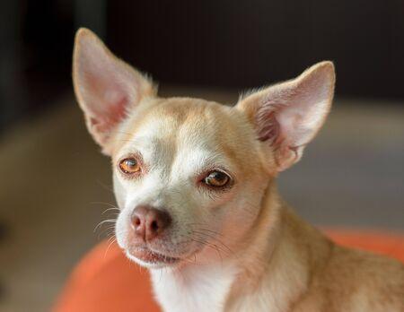 sweet cute beautiful chihuahua dog blur background Stok Fotoğraf