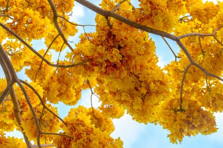 exotic beautiful yellow flower tree blue sky background Фото со стока