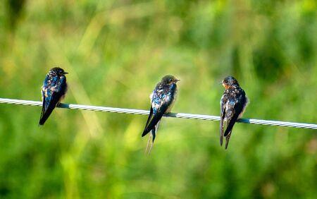 three swallow birds stand wire green blur background