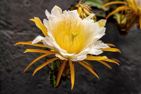 beautiful flower isolated big white petals yellow dark background fragile