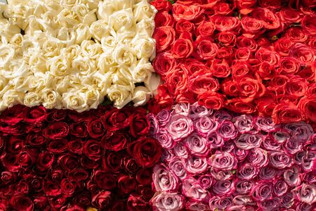 bunch of vibrant beautiful colorful roses White red salmon pink carpet wallpaper many no people