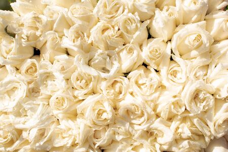 bunch of vibrant beautiful colorful white roses pink carpet wallpapers many square no people flower Фото со стока