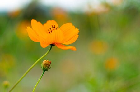 one orange wild flower green grass blurred background blue sky 写真素材