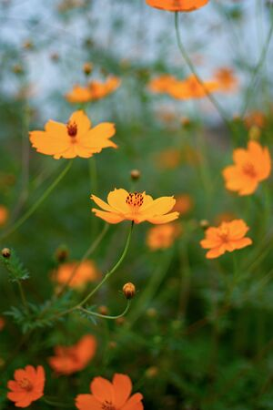 many orange wild flower green grass blurred background blue sky