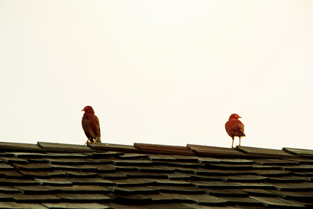 common myna bird: Two common myna birds sitting on the roof top against light pink morning sky in tropical country