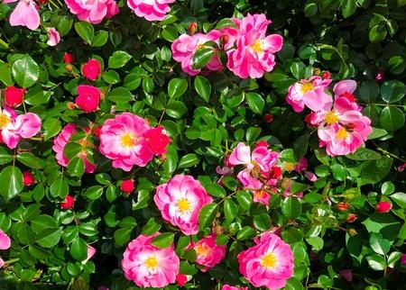 Background of a flowering bush of the dog rose with bright pink background of a flowering bush of the dog rose with bright pink flowers closeup mightylinksfo