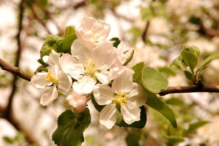 elysium: Blossoming garden of juicy apple-trees in solar weather
