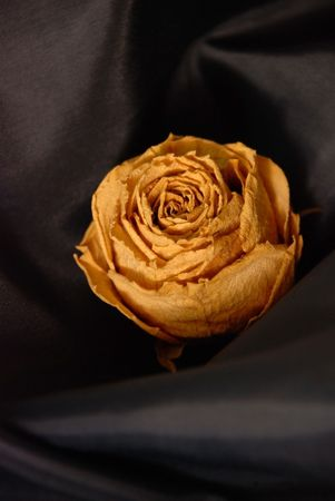 The withering roses lying in loneliness, fabric surface, white background Stock Photo