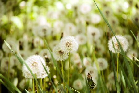 flowerbeds: green fluffy dandelions flowerbeds, surrounded by beautiful flowers