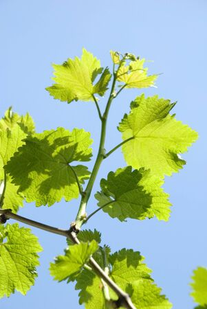 grape leaves against the sun  blue sky - vintage
