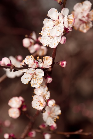 Beautiful branch of pink cherry flowers in spring. photo