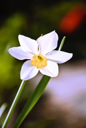 One blossoming narcissus in green grass on spring field  Stock Photo - 9364955