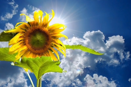 Blue sky and sunflower showing summer concept
