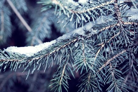 Winter background of pine branches covered with frost snow photo
