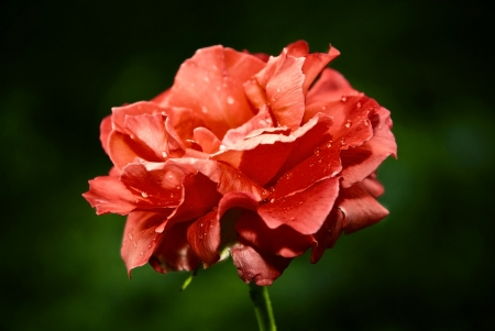 Bud of a red rose with drops of dew on petals  Soft focus photo