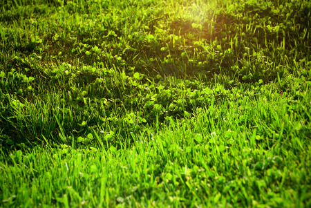 Lawn with blooming green grass in the sun.