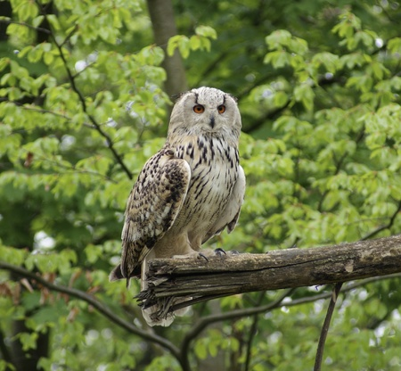 a Long-eared Owl sitting on a bough in forest ambiance Stock Photo - 10829959