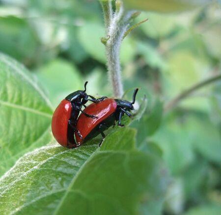 green vegetation: outdoor shot of 2 copulating red beetles in green vegetation Stock Photo