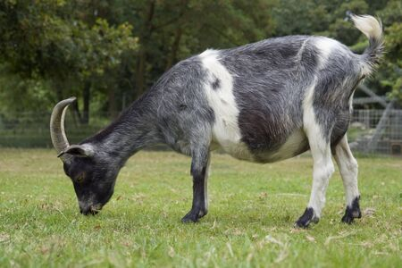 low angle shot of a goat in natural back photo