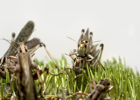 closeup of some grasshoppers in green grass in front of light grey back photo
