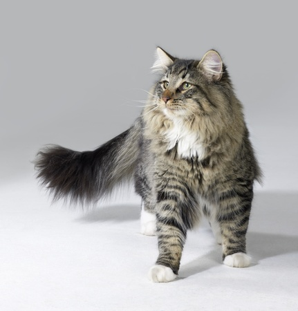 tabby Norwegian Forest kitten in light grey back
