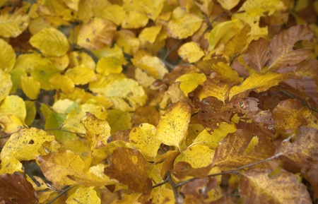 momentariness: natural background of yellow and brown autumn leaves