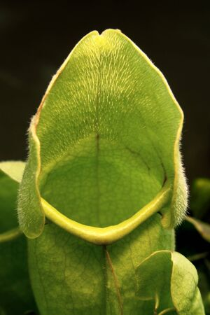 pitfall: detail of a carnivorous pitfall trap plant in black back
