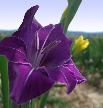 gladiolus: detail  of a gladiolus flower at summer time with blurred landscape in the background