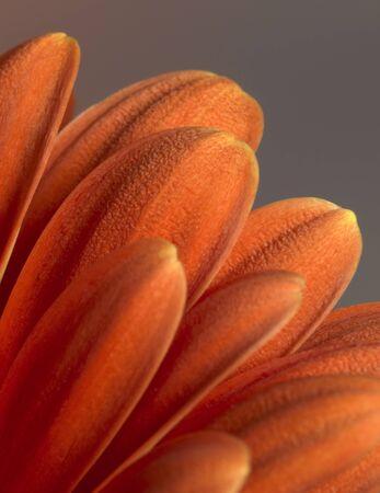 closeup photography of some red gerbera flower petals photo