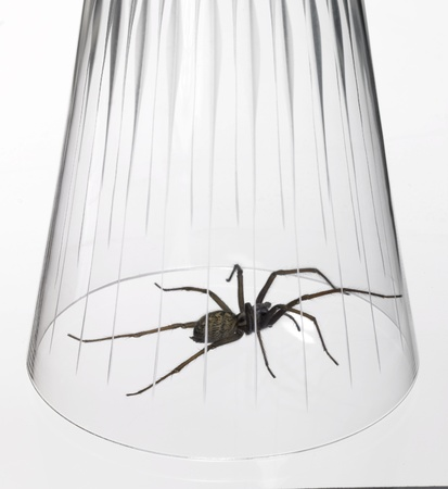 animosity: studio photography of a spider caught with a drinking glass, in white back