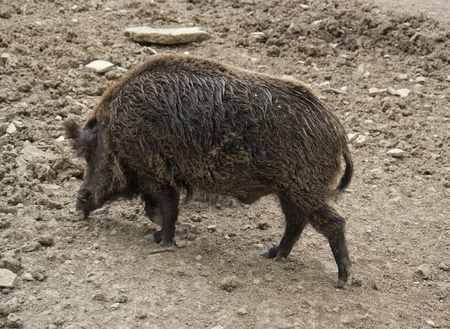 outside shooting: high angle shot of a wild boar in earthy ambiance Stock Photo