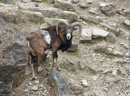mouflon: a mouflon on stony ground Stock Photo