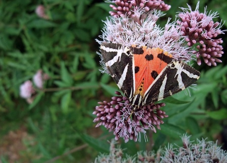 a butterfly named Jersey Tiger on a pink flower in green ambiance photo