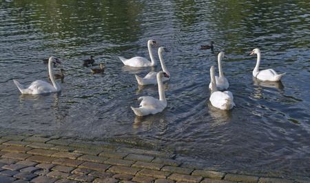 riverside scenery showing some swans and ducks photo