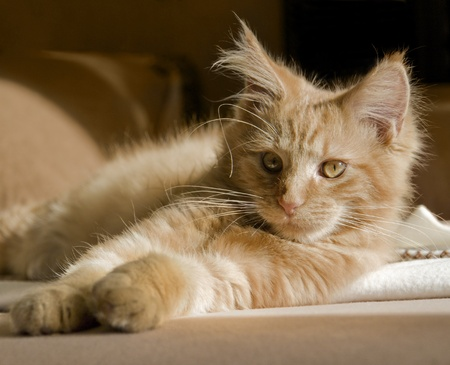 effortless: red tabby Maine Coon kitten resting on a couch Stock Photo