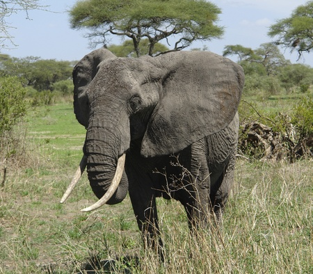 herbivorous animals: african Elephant in Tanzania (Africa)
