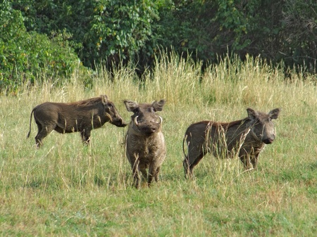 veldt: sunny illuminated scenery with 3 warthogs in high grassy vegetation in Uganda (Africa)