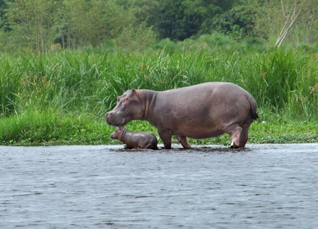 a Hippo cow and calf wading waterside in Uganda (Africa) Stock Photo - 10838623