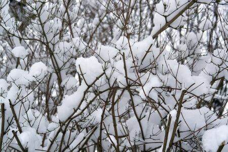 twigs with lots of snow at winter time photo
