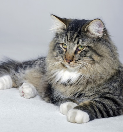 young Norwegian Forest Cat resting on the ground in light grey back photo