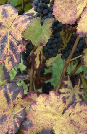 allegory painting: colorful grape leaves at autumn time