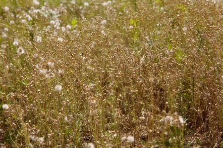 sere: withered grassy plants at autumn time