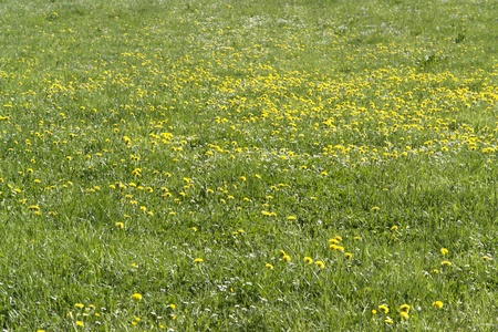 meadow detail with lots of dandelion flowers and fresh green grass photo