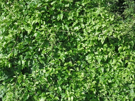 impervious: ff background showing green compact vegetation at summer time Stock Photo