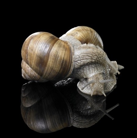 allegory painting: studio photography of two Grapevine snails on each other in black reflective back