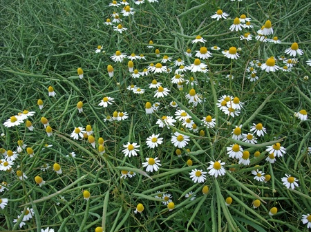 german chamomile: full frame background with canola and camomile flowers